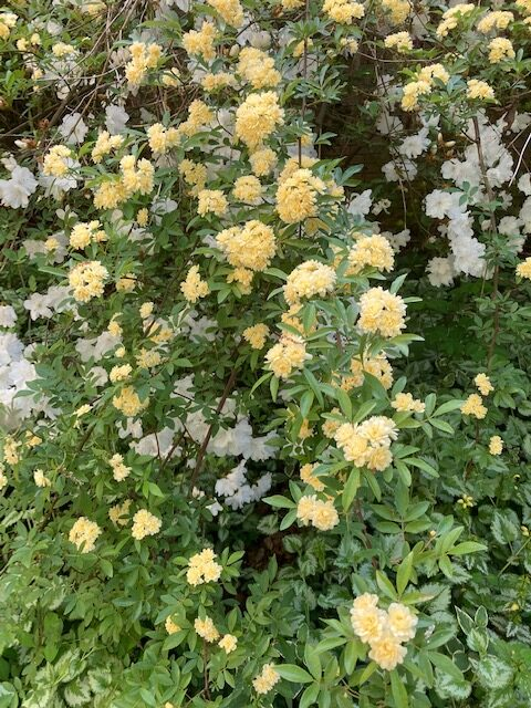 Rose plant with many small yellow flowers