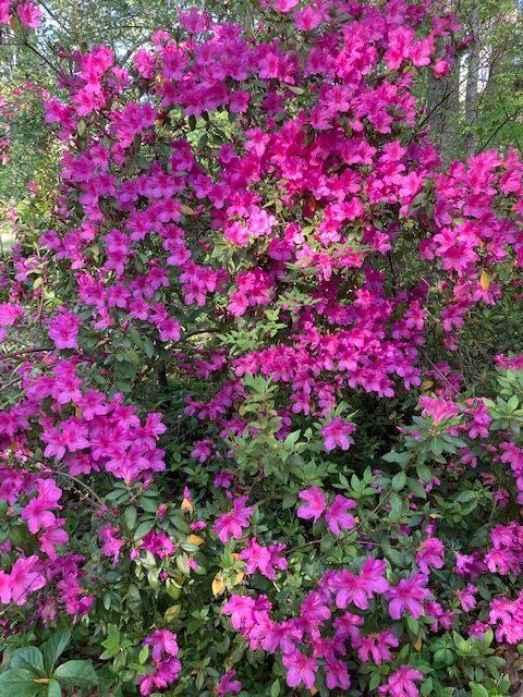 Bright magenta azalea in full bloom
