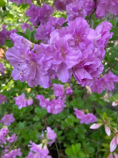 Purple azalea with additional petals