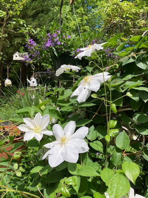 Large white clematis flowers with purple annuals behind them