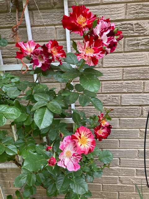 Red and white striped rose grows against a brick wall