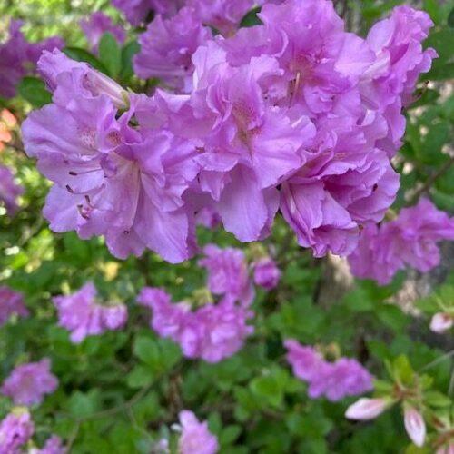 Purple azalea with extra petals