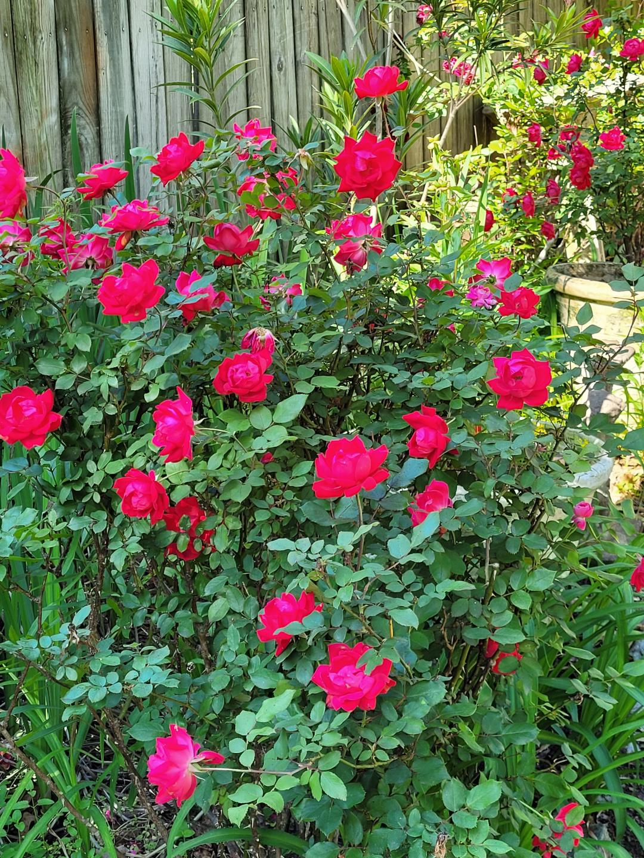 bright pink rose bush