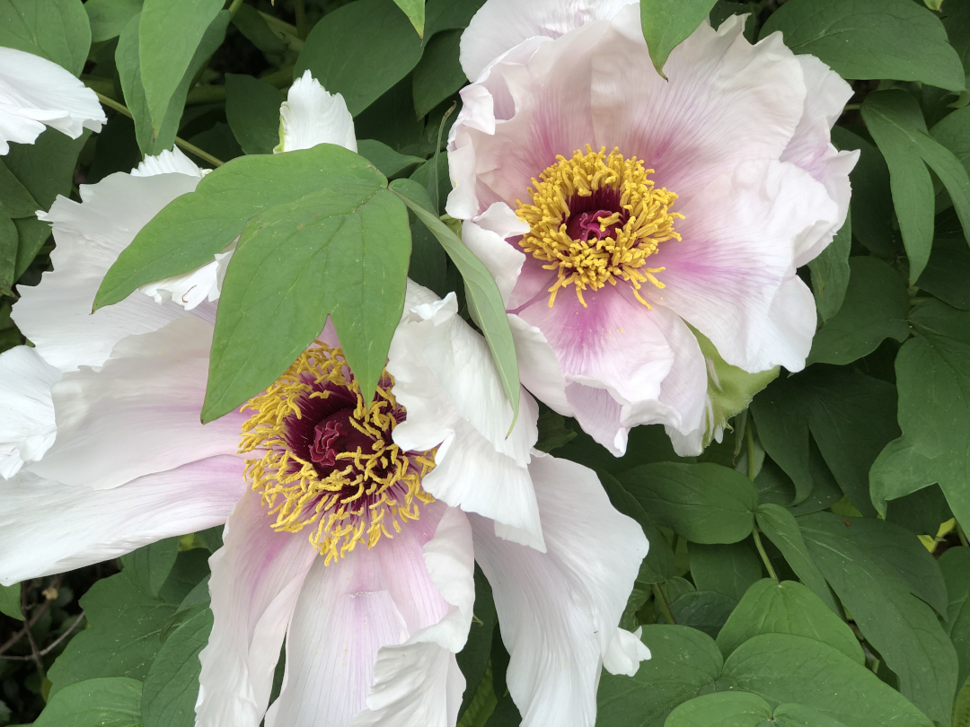 Closeup of peony flowers, white with faint pink center
