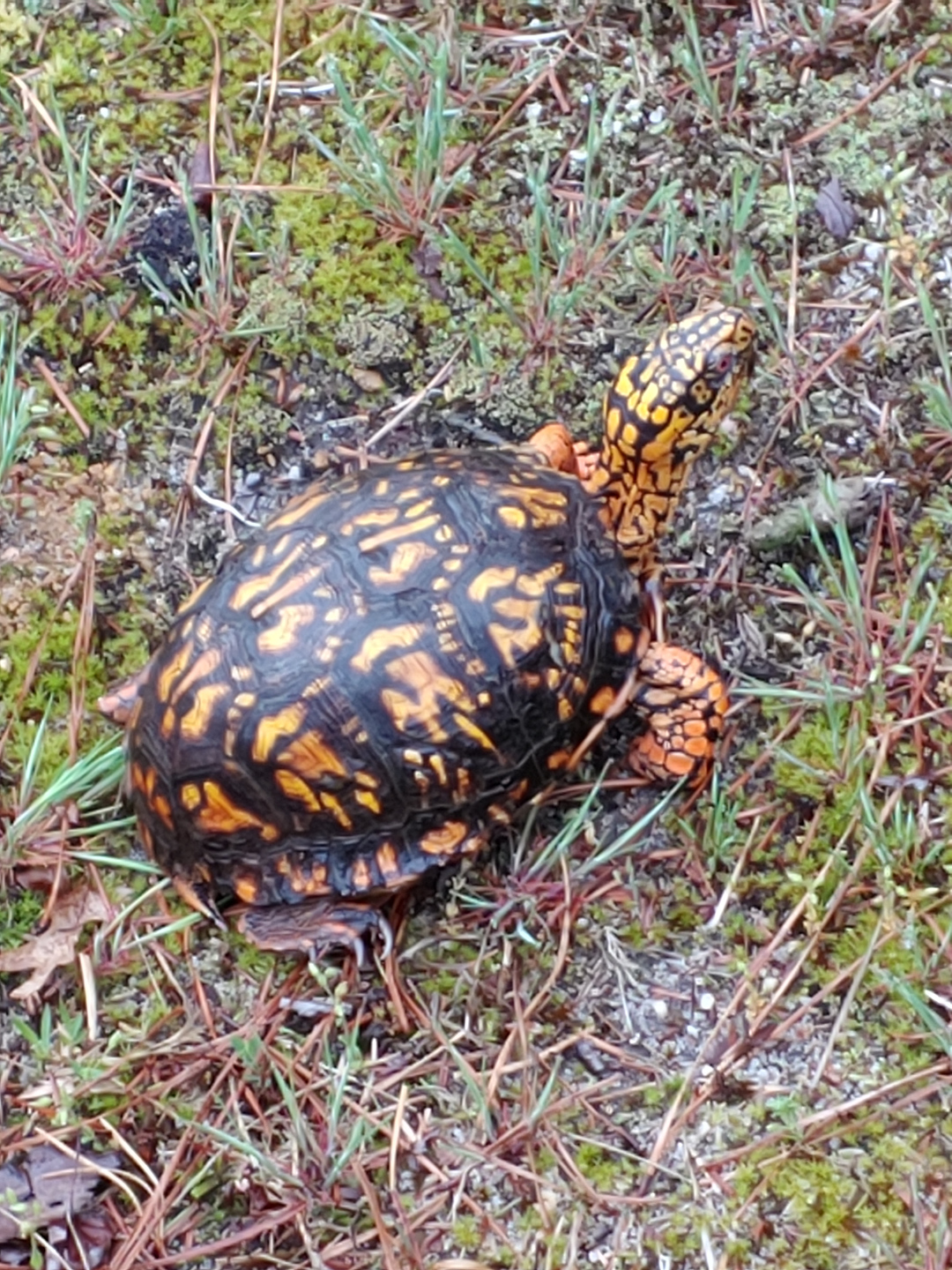 box turtle with bright markings