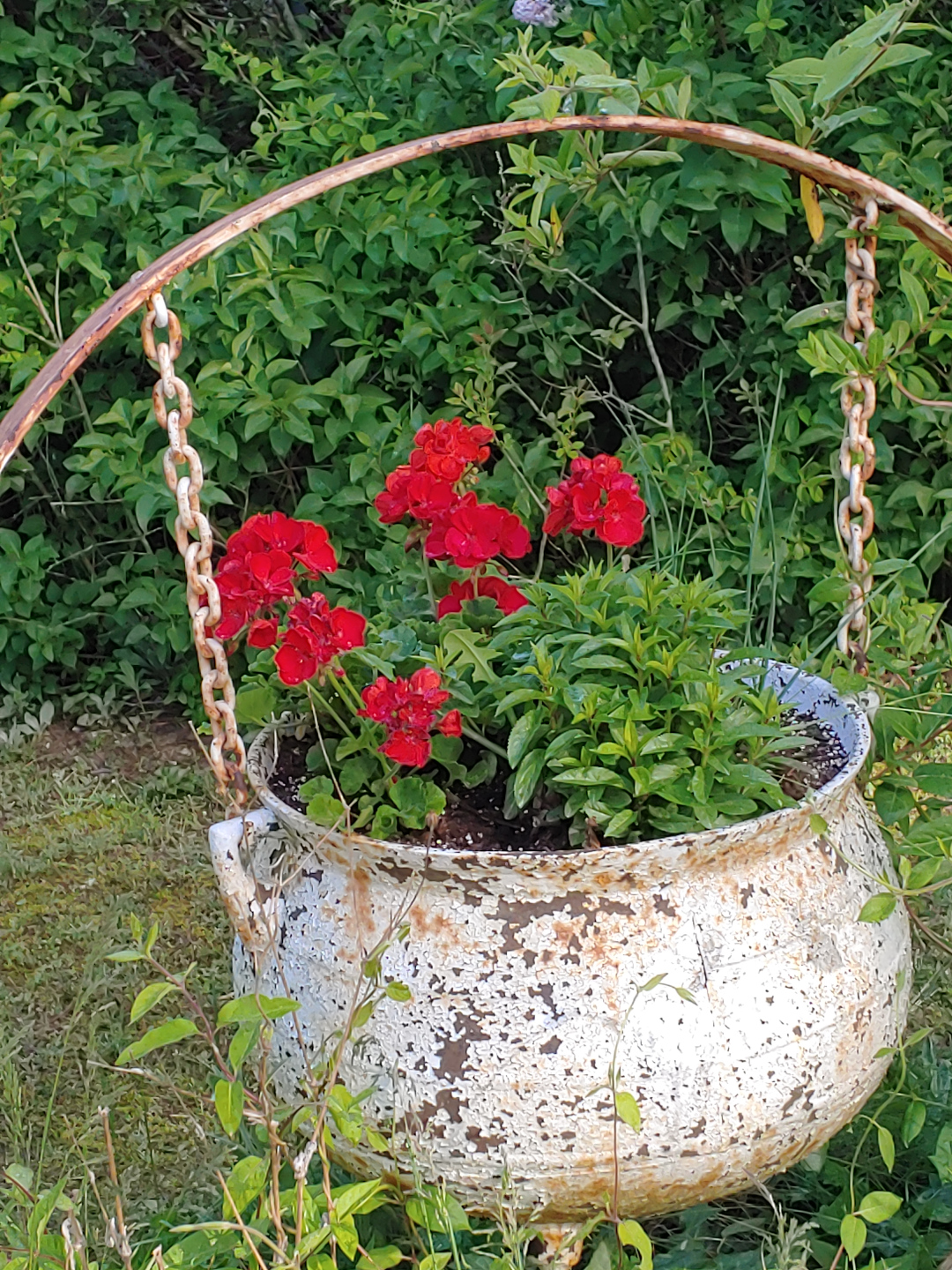 A cauldron with white flaking paint hanging from chains and planted with red geraniums