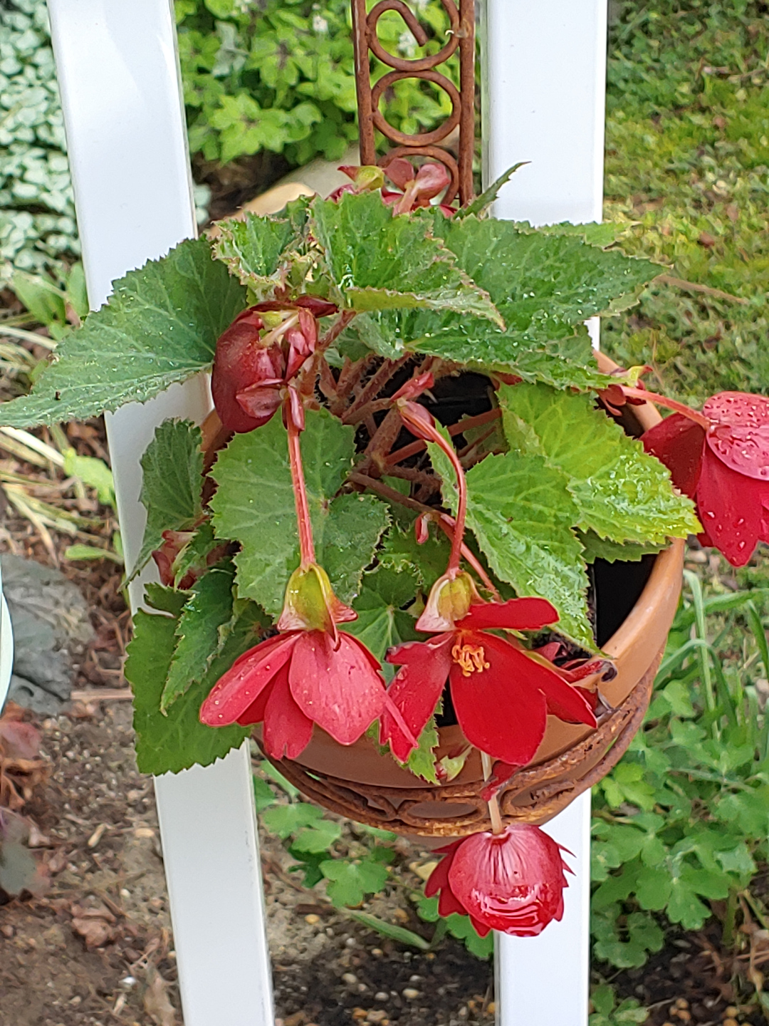 A begonia with large red flowers in a pot hanging from a white fence