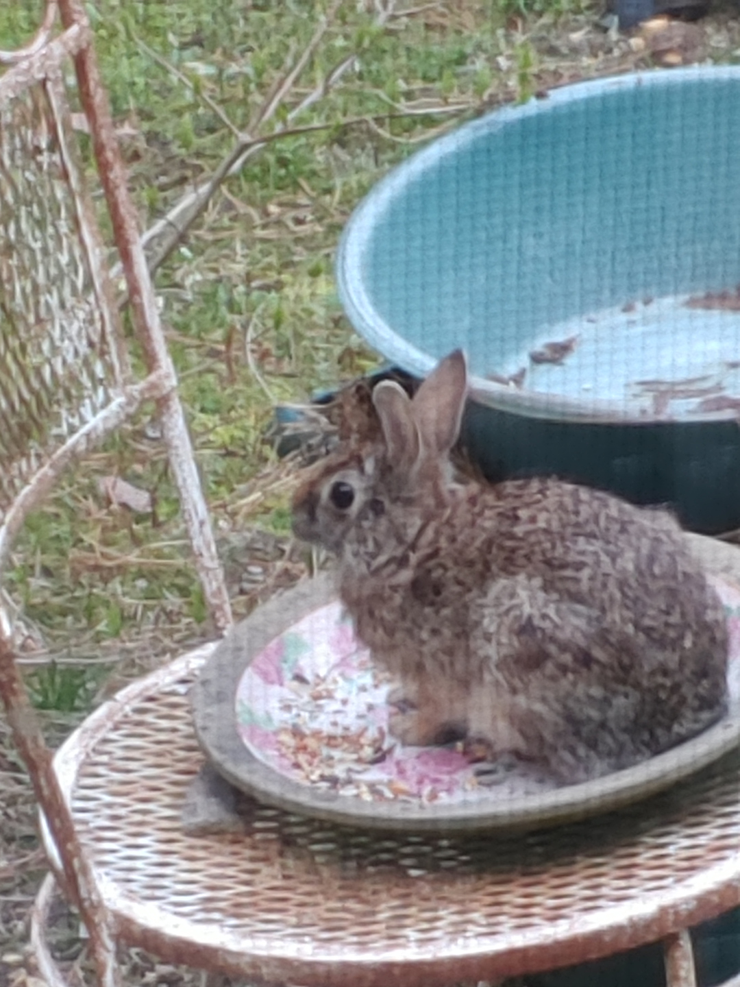 A brown rabbit sitting on a chair outside