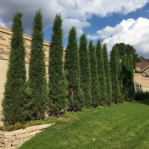 Taylor Eastern red cedar