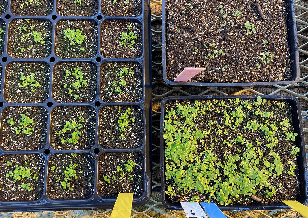 beebalm seedlings