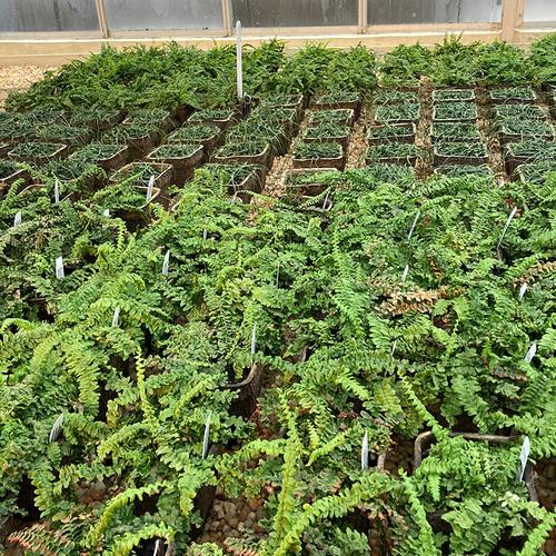 Native ferns grow in flats