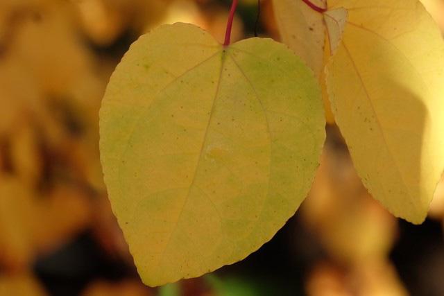 Katsura tree foliage