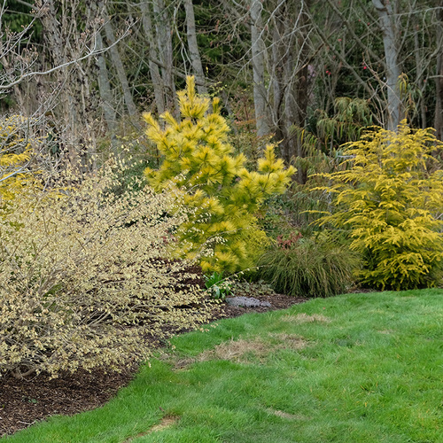 Golden foliage and spring blooms