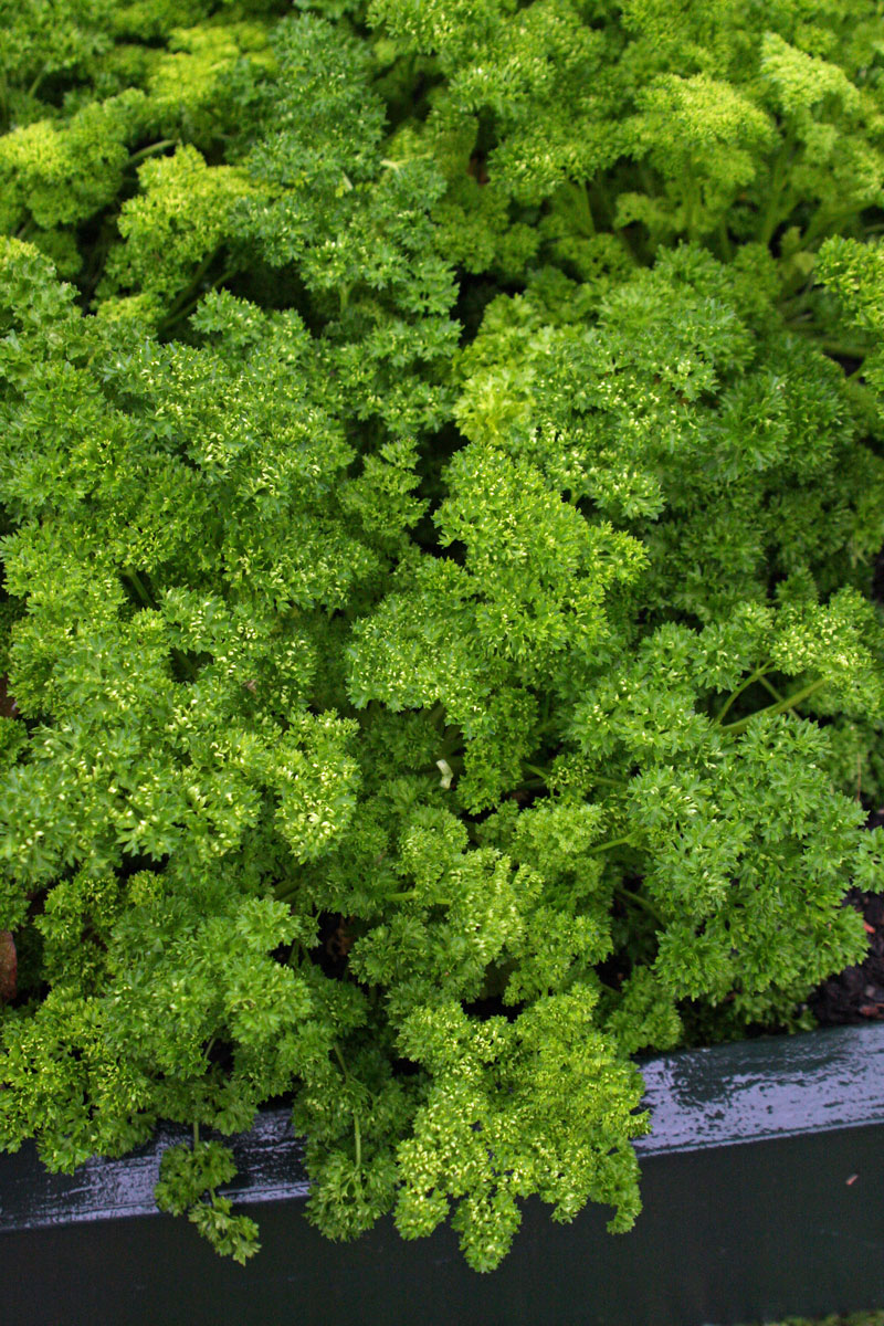 'Moss Curled' parsley