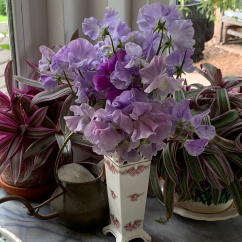 Sweet peas in a vase in front of some houseplants