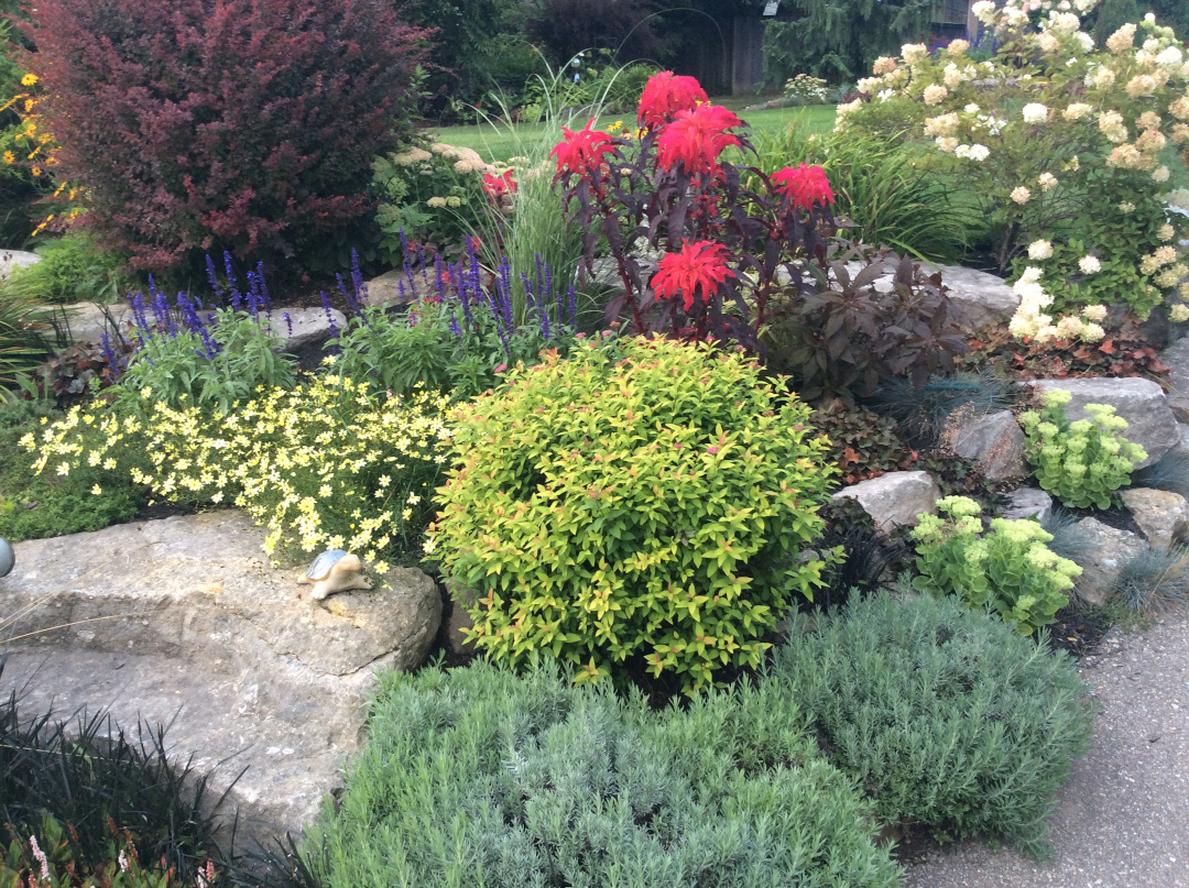 front yard garden bed with shrubs and amaranth