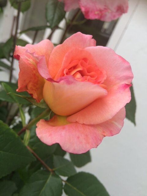 multicolored peach rose bloom