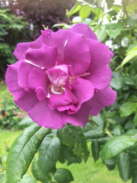 purple rose bloom
