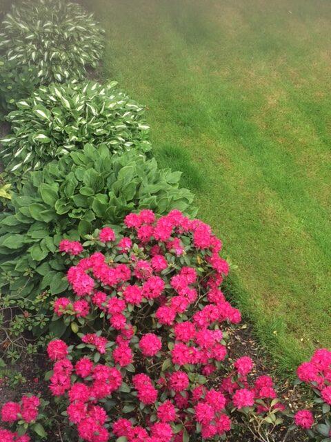 rhododendron next to hostas
