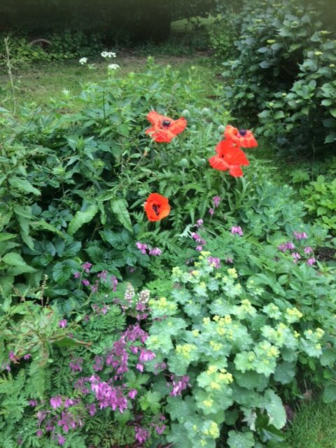 Oriental poppies in a small garden bed