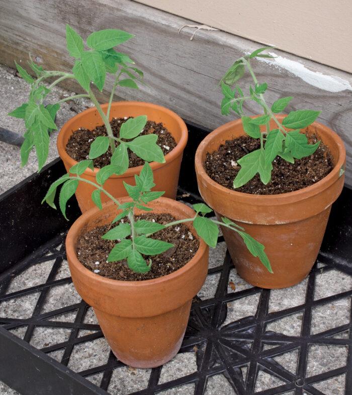 toughen the plants
