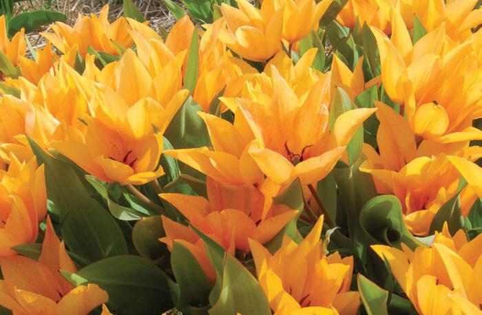 Shogun tulip blooms