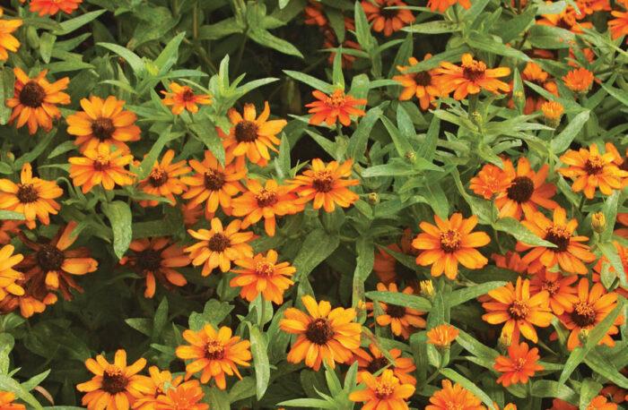 Orange Profusion zinnia blooms.