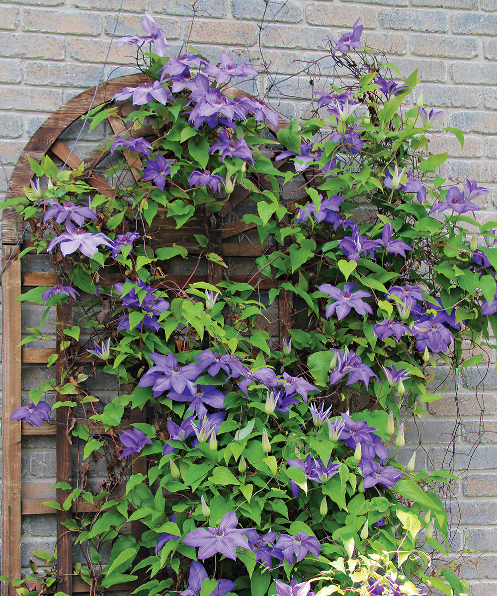 The President clematis