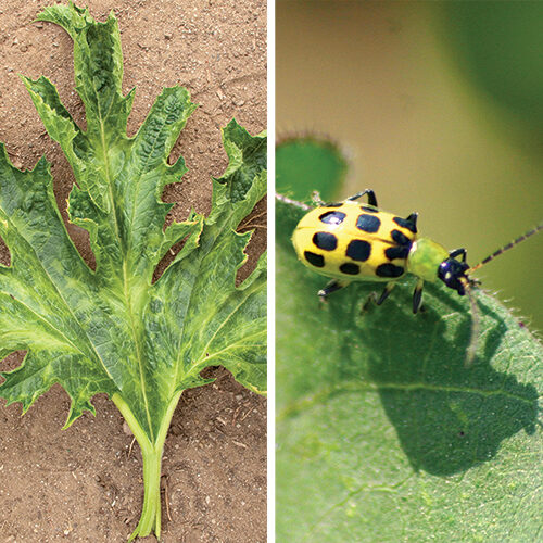 summer squash pests and diseases