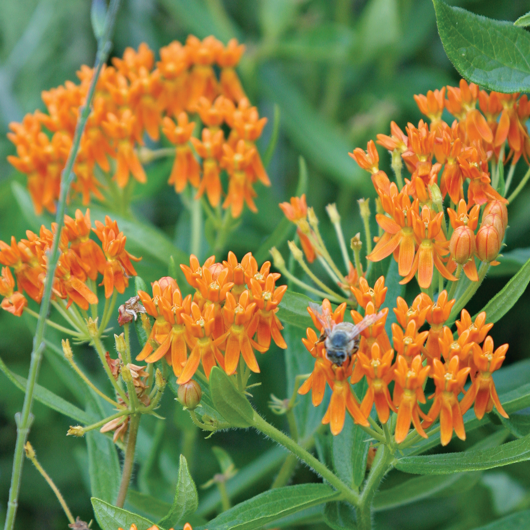 Butterfly weed A. tuberosa