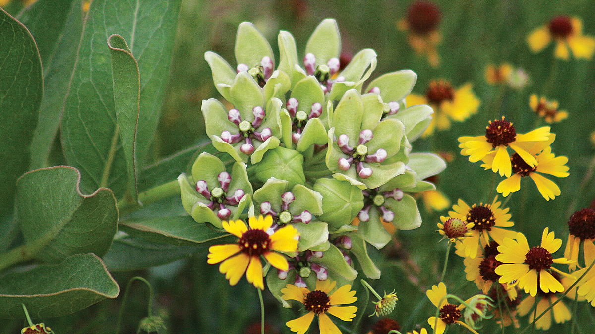Give green milkweed some space of its own