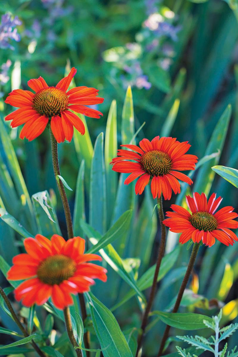 KISMET® Intense Orange coneflower