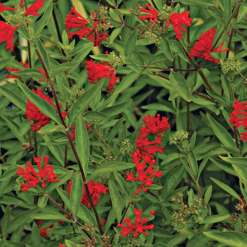 Firecracker bush