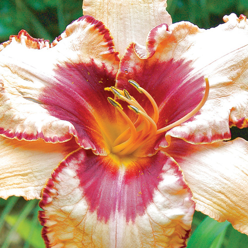 Antique Linen Daylily
