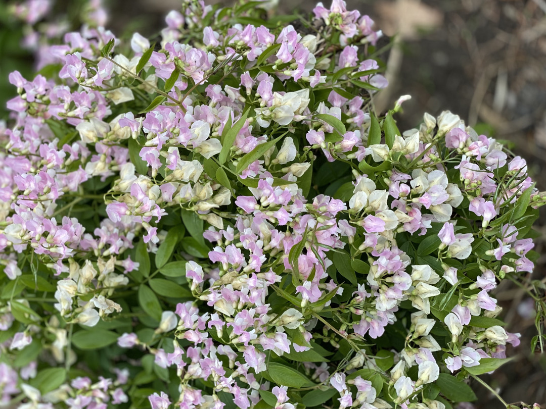 Mass of small pale pink flowers