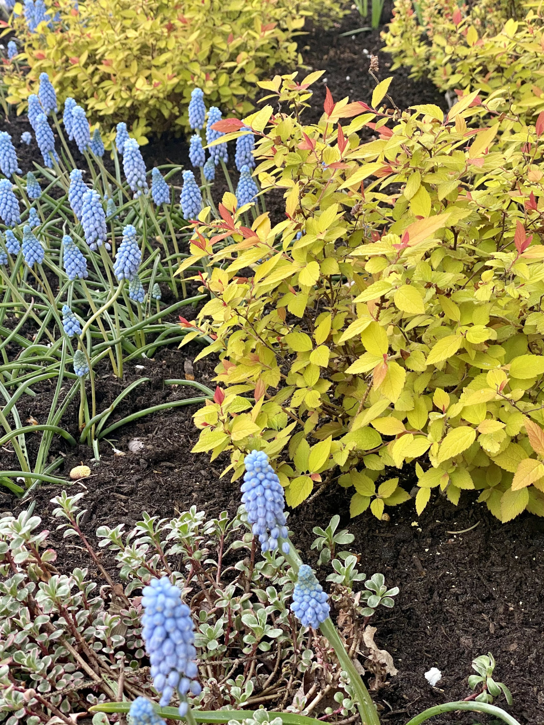 blue flowers with a yellow-leaved shrub