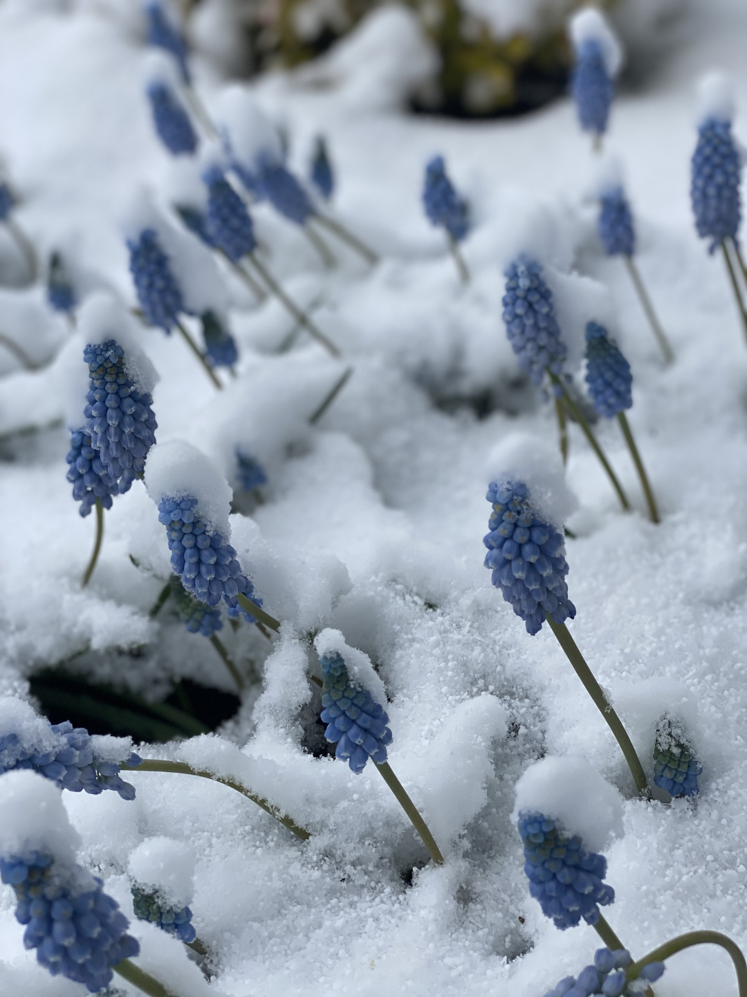 Pale blue flowers sticking out of snow