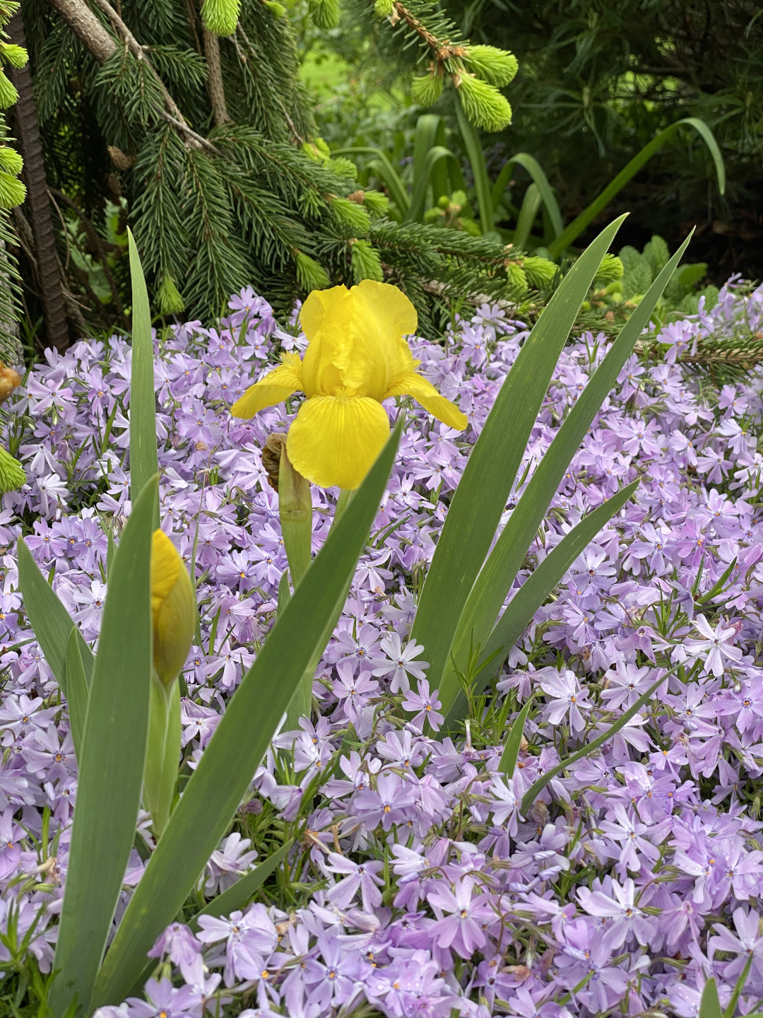 A yellow iris growing in a mass of lavender phlox