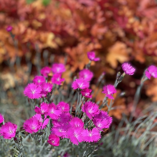 A pink dianthus blooming in front of an orange heuchera