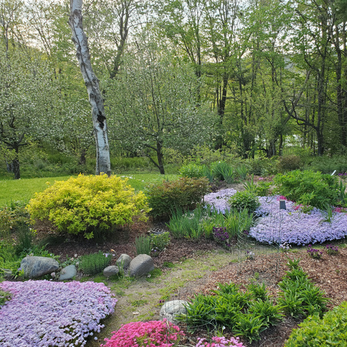 spring garden with big sheets of creeping phlox in bloom