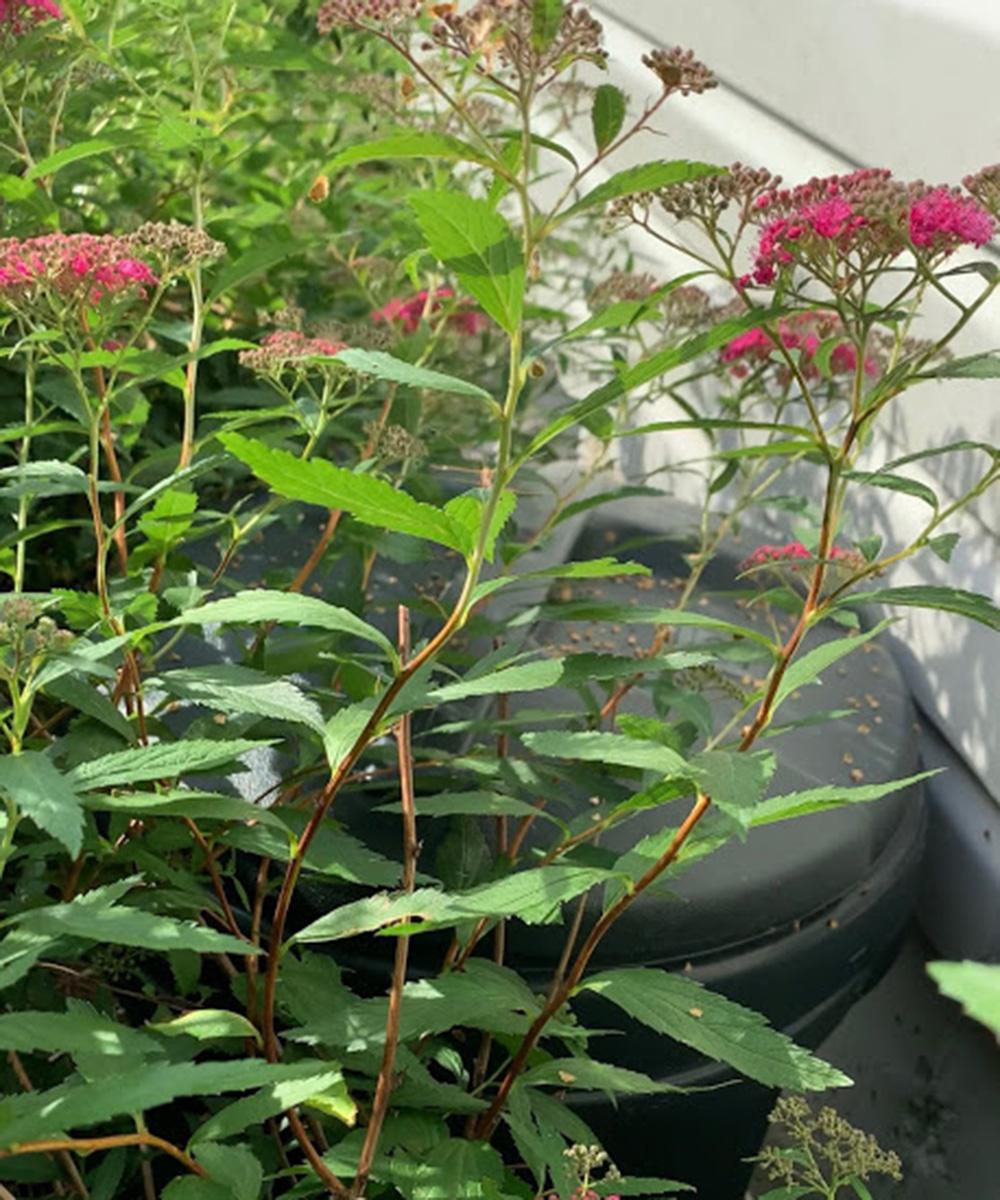 enclosed compost bin hidden behind plants
