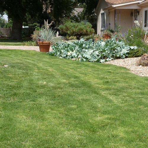 lawn full of Dog Tuff grass