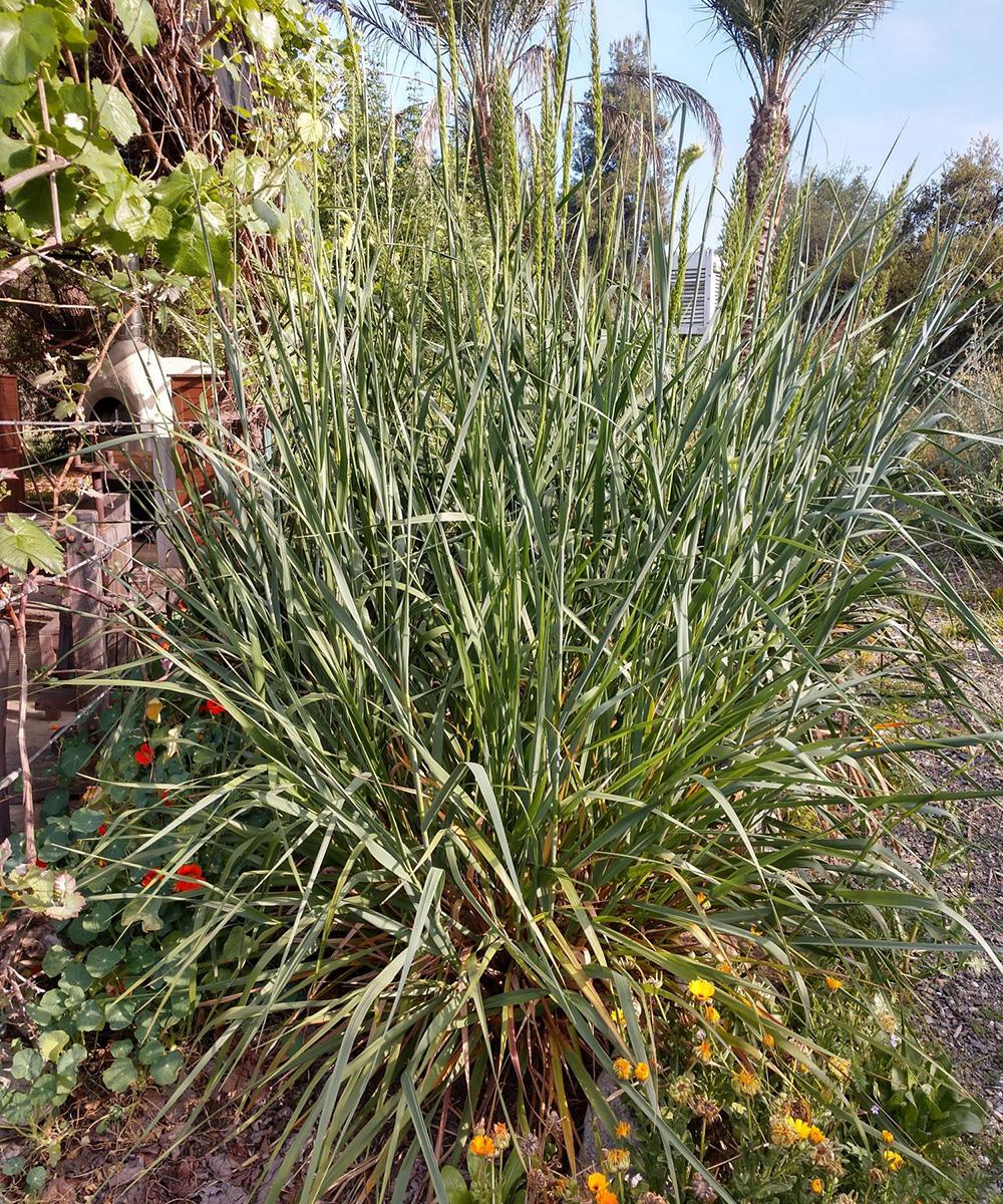 dense mound of ornamental grass