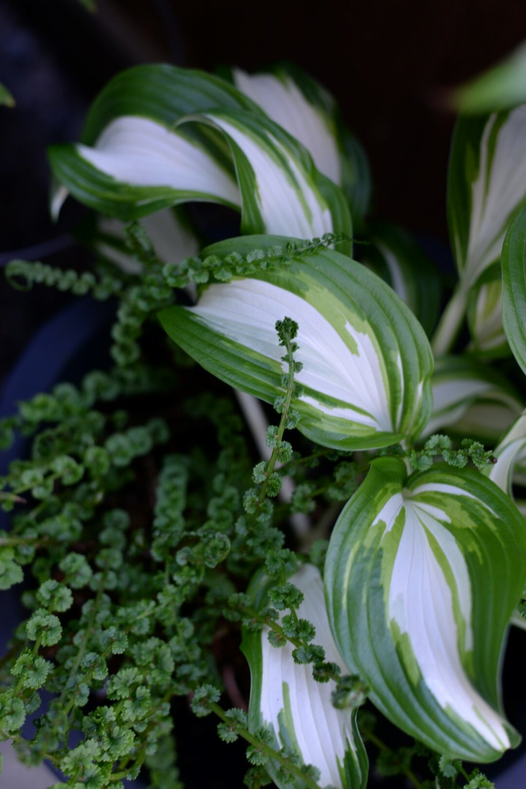variegated hosta with a fern