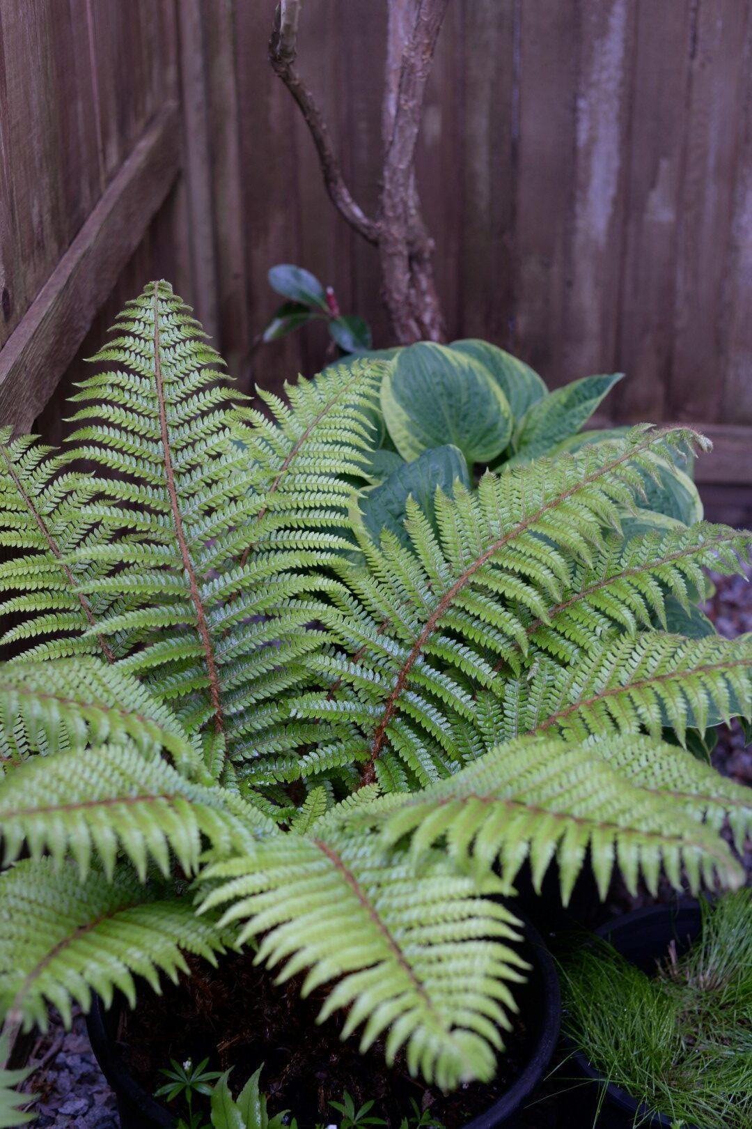 large light green fern