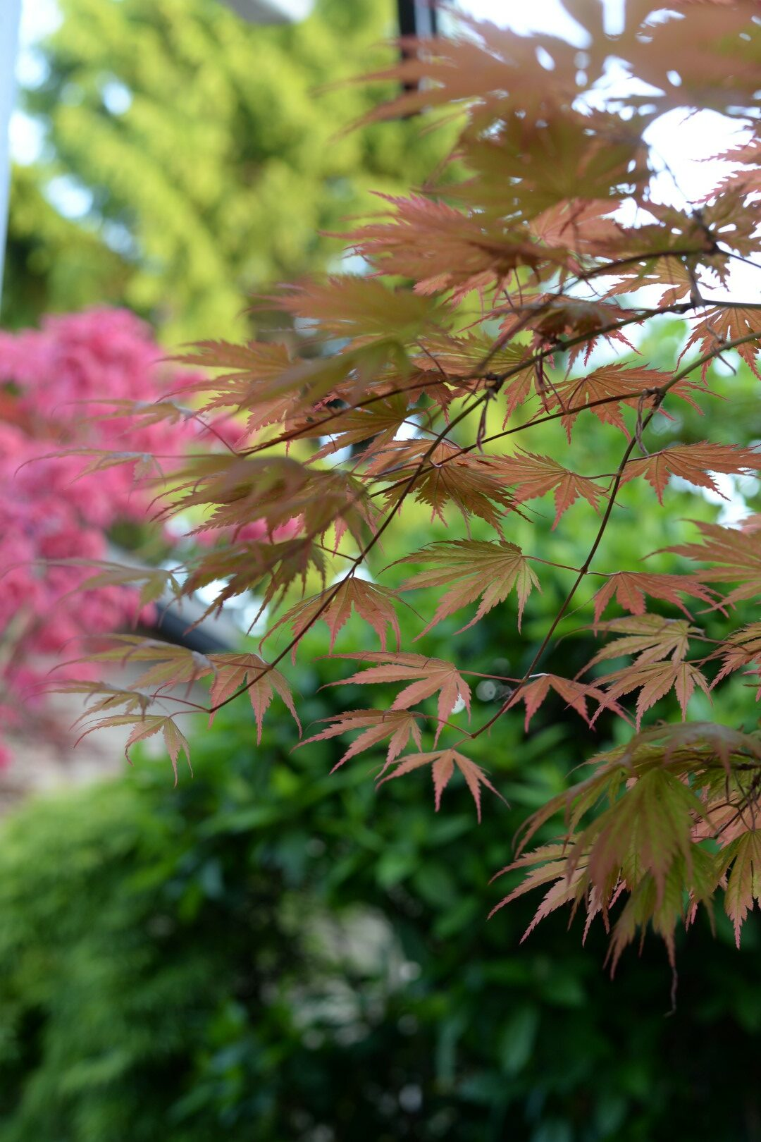 View of a garden through Japanese maple leaves