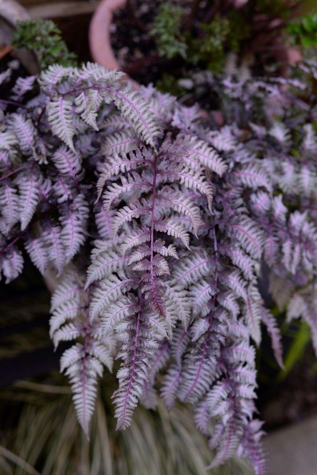 silver and purple fern