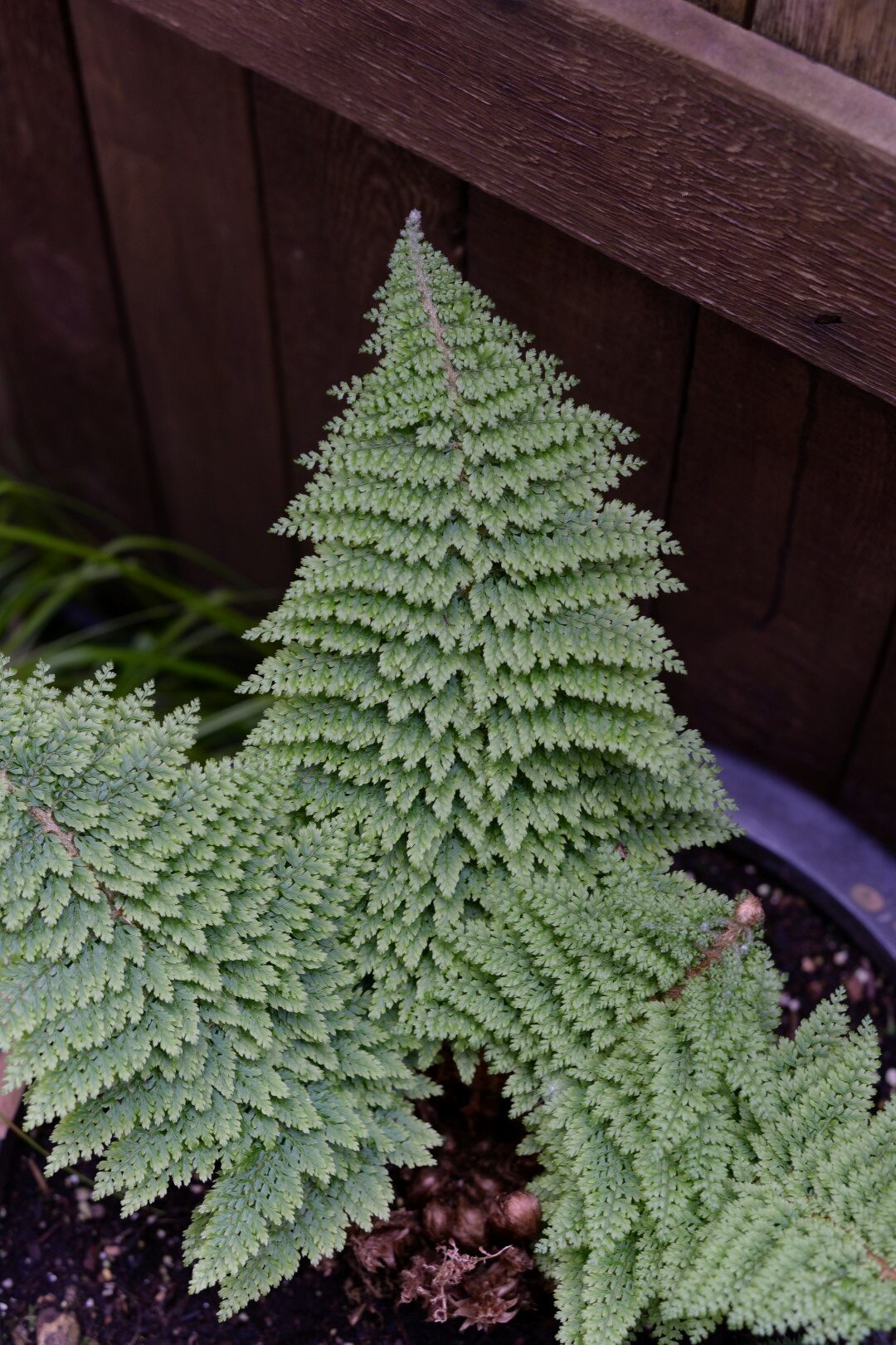 light green fern with small delicate foliage