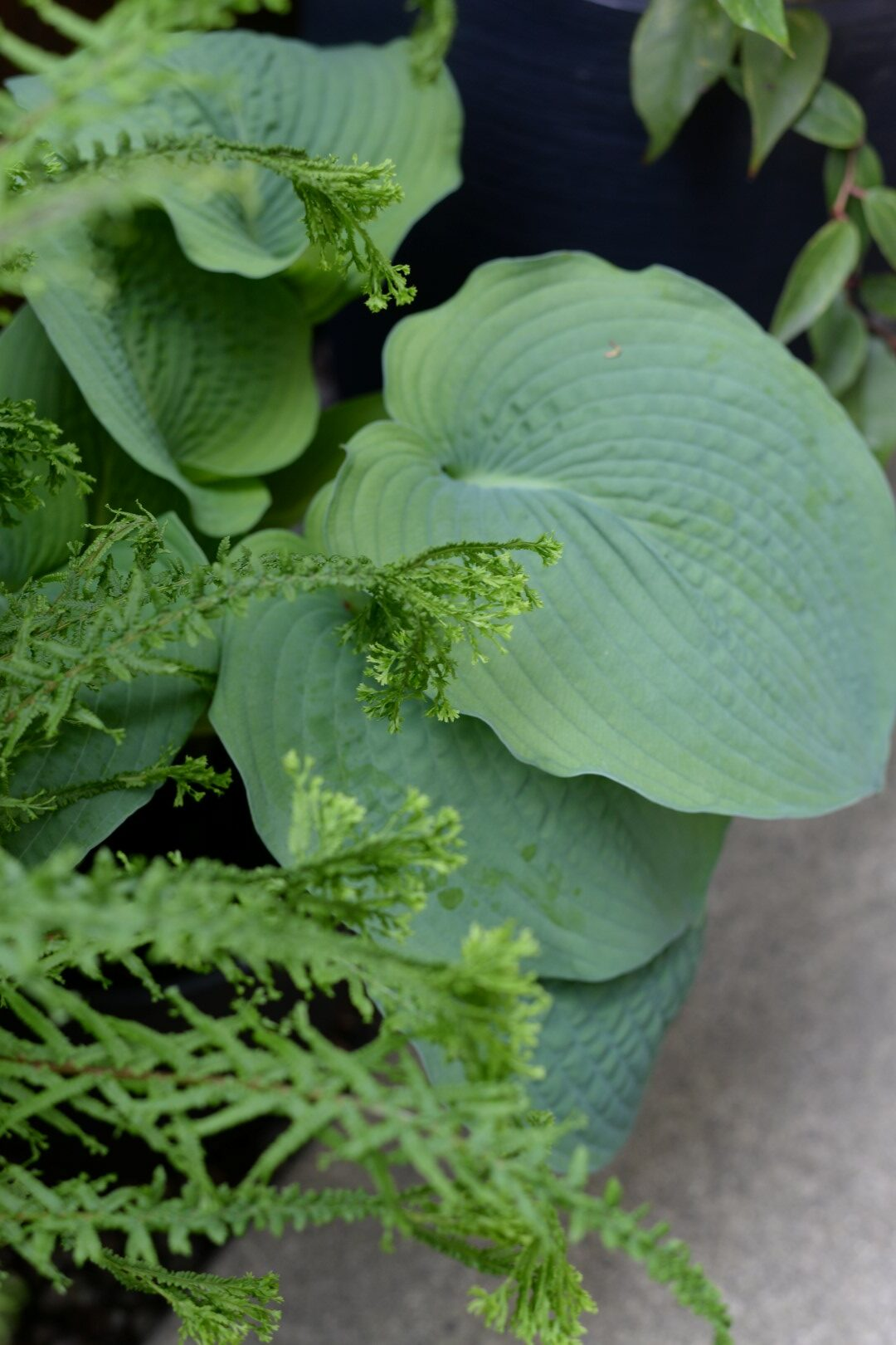 large hosta with crinkled leaves growing with a fern