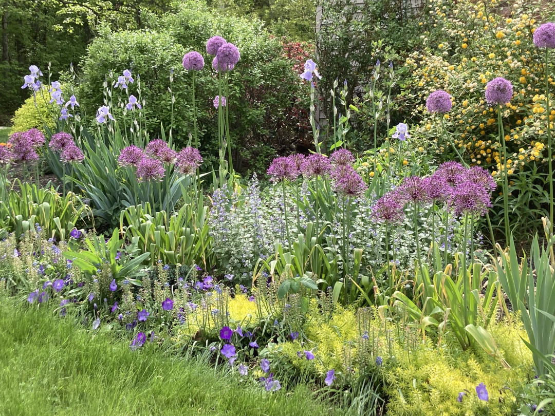 Large purple flowers grow out of a garden bed